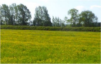 A few buttercup meadows still survive, like this one at Weir Farm, East Hanney.